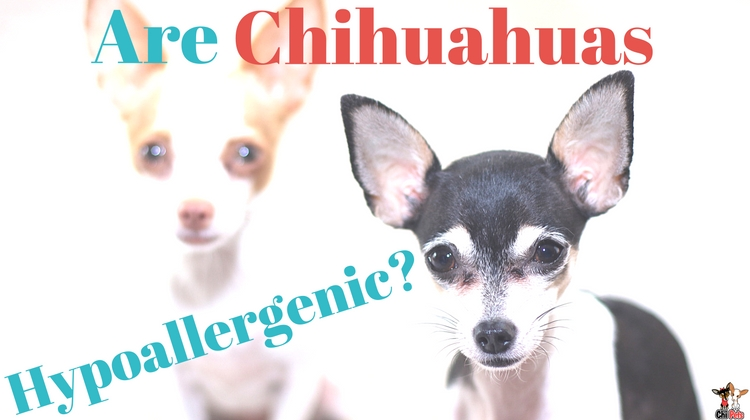Are Chihuahuas Hypoallergenic ChiPets