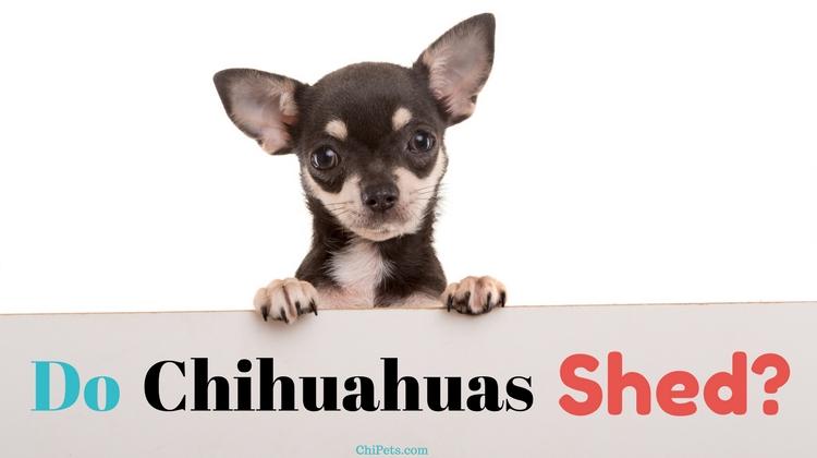 Do Chihuahuas Shed | ChiPets.com