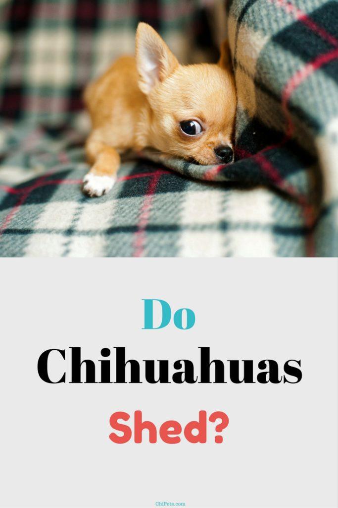 Do Chihuahuas Shed? | ChiPets.com