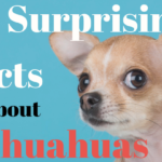 25 Surprising Facts about Chihuahuas - ChiPets.com