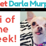 Meet Darla Murphy - Chi of the Week at ChiPets.com