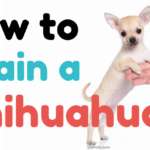 How to Train a Chihuahua - ChiPets.com