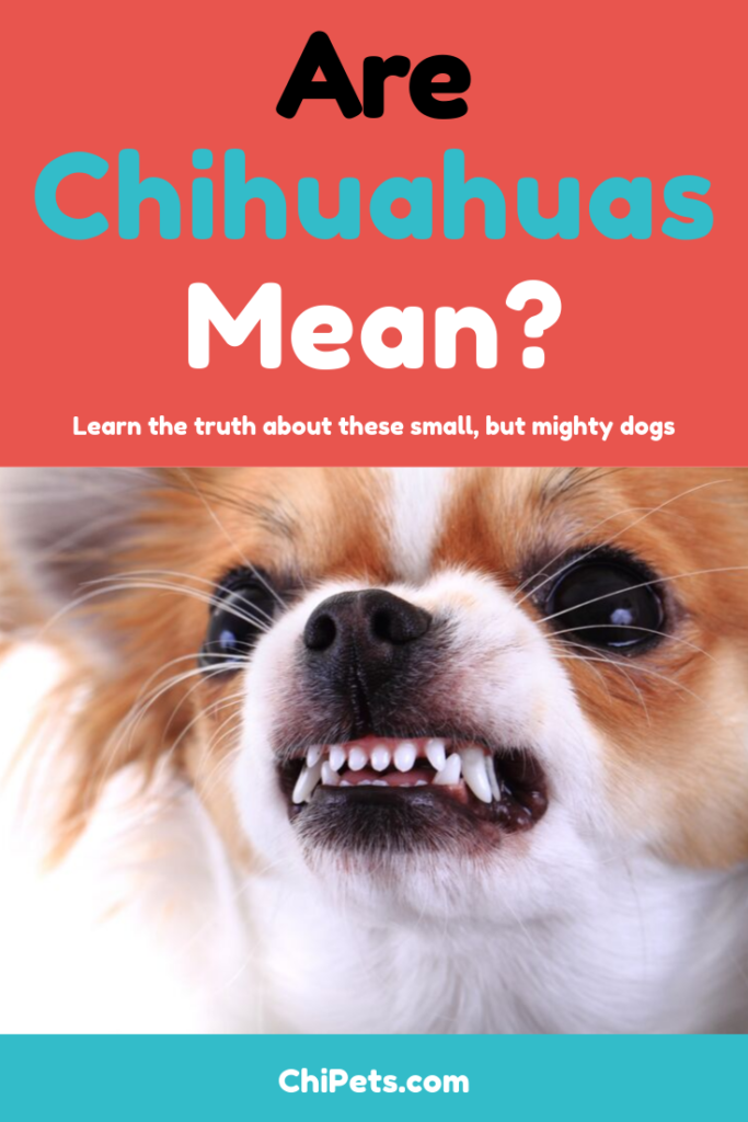 Are Chihuahuas Mean - ChiPets.com