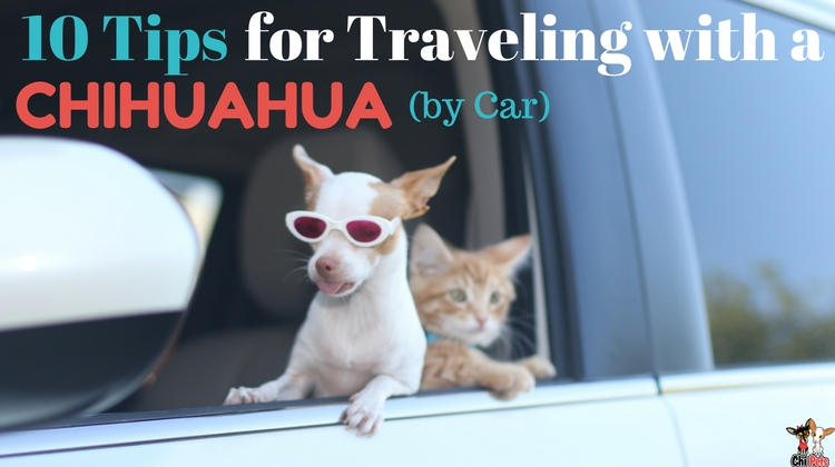 10 Tips for Traveling with a Chihuahua by Car