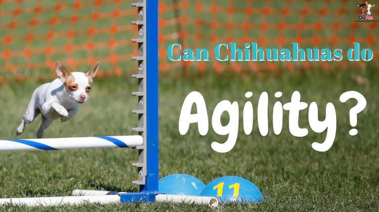 Can Chihuahuas do Agility ChiPets