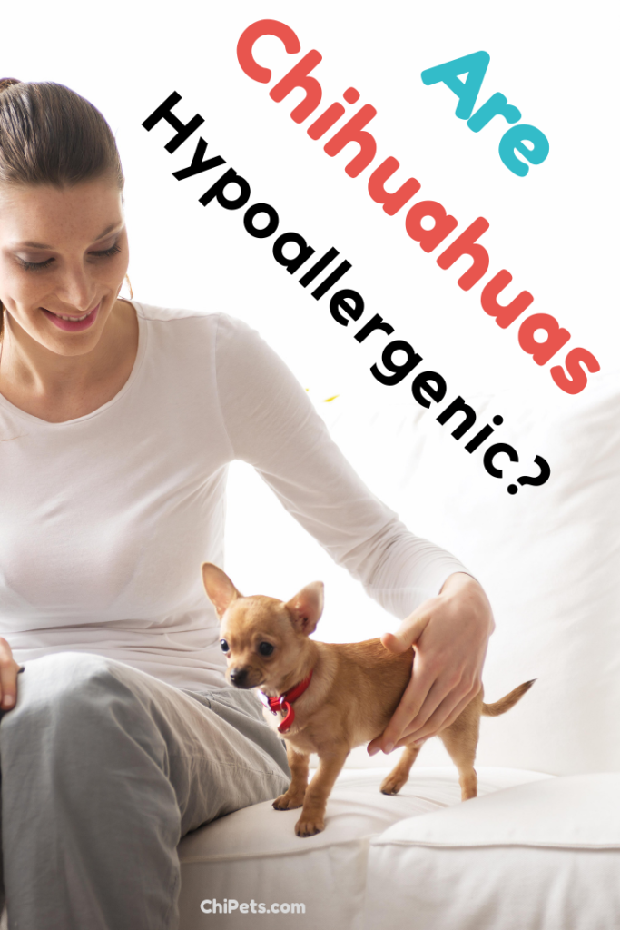 Are Chihuahuas Hypoallergenic - ChiPets.com