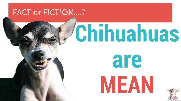 Are Chihuahuas Mean? - ChiPets.com