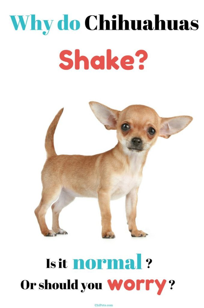 Why Do Chihuahuas Shake? - ChiPets.com