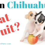 Can Chihuahuas Eat Fruit? - ChiPets.com