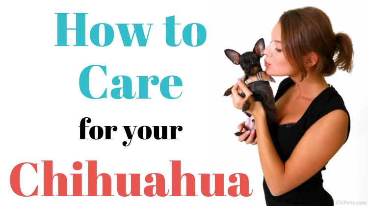 How to Care for Your Chihuahua - ChiPets.com