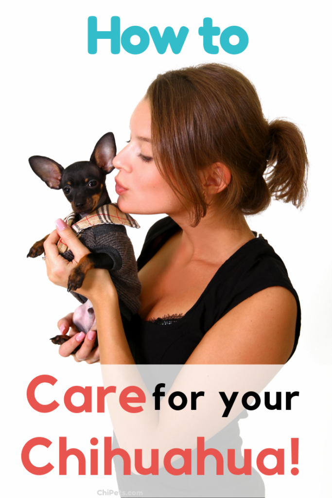 How to Care for Your Chihuahua Pin 2 - ChiPets.com