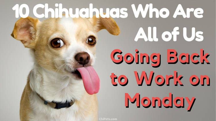 10 Chihuahuas Who Are All of Us Going Back to Work on Monday - ChiPets.com