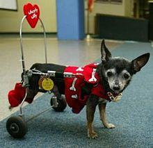 9 Super Famous Chihuahuas - ChiPets.com