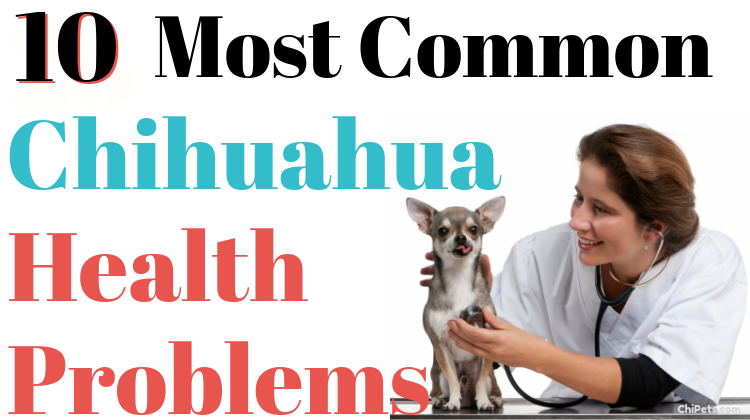 10 Most Common Chihuahua Health Problems - ChiPets.com