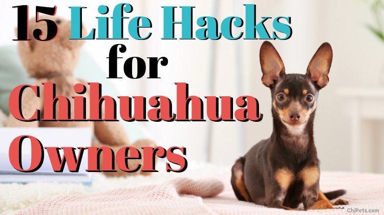 15 Life Hacks for Chihuahua Owners - ChiPets.com