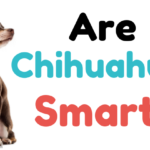 Are Chihuahuas Smart - ChiPets.com