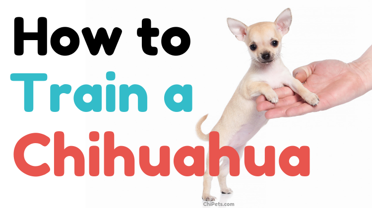 How to Train a Chihuahua - ChiPets.com