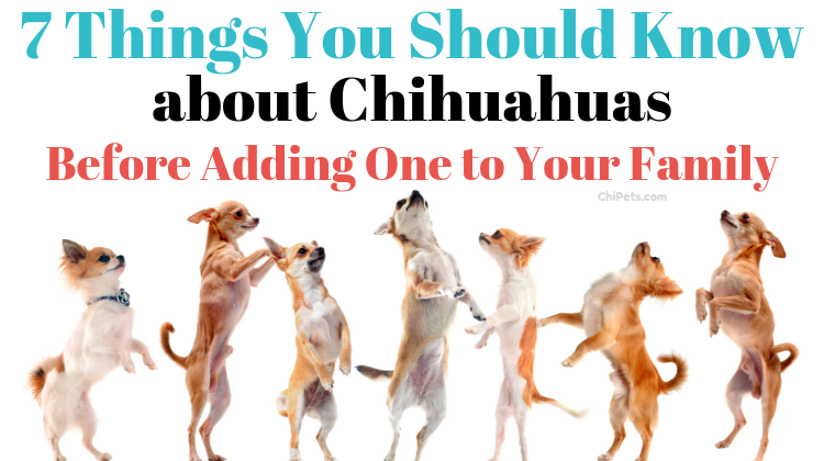 7 Things You Should Know about Chihuahuas Before Adding One to Your Family - ChiPets.com