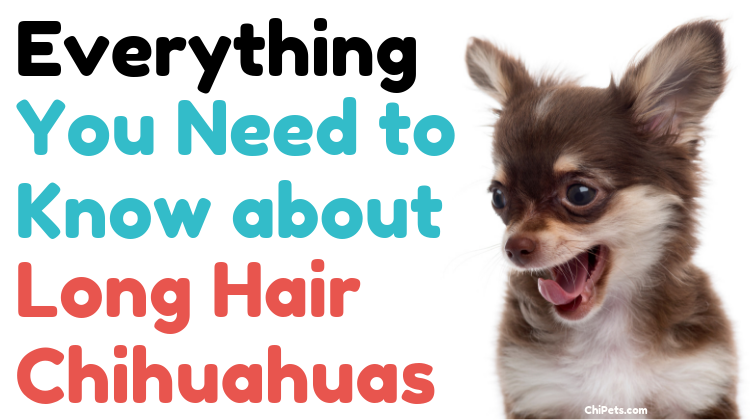 Everything You Need to Know about Long Hair Chihuahuas - ChiPets.com