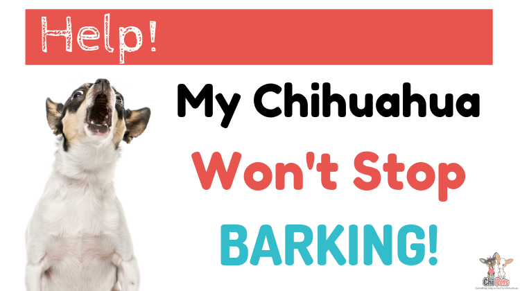 Help! My Chihuahua Won't Stop Barking! - ChiPets.com