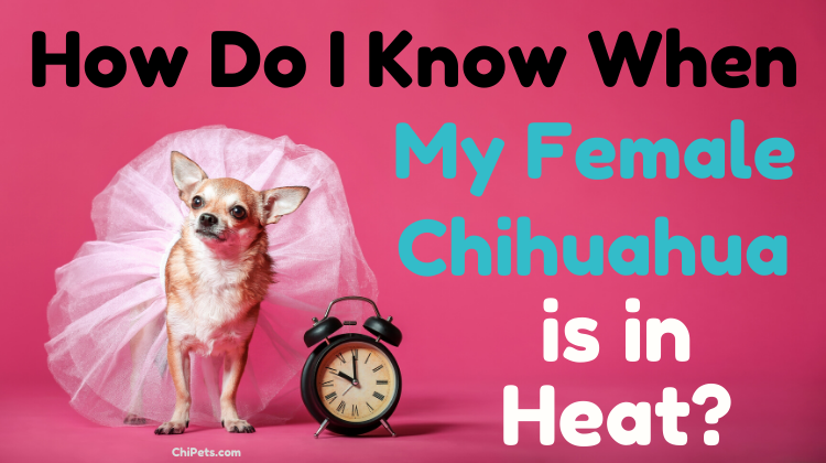 How Do I Know When My Female Chihuahua is in Heat