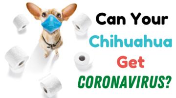 CanYourChihuahuaGetCoronavirus