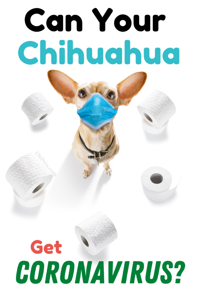Can Your Chihuahua Get Coronavirus - ChiPets.com